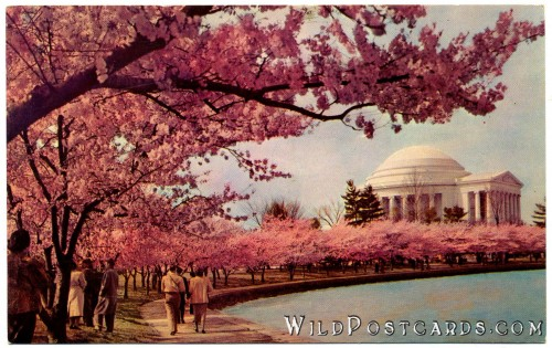 Cherry Blossom Time: Thomas Jefferson Memorial