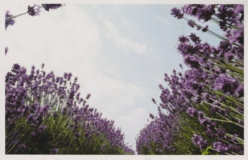 Lavender and Sky (F05)