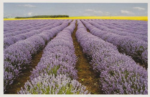 Rows of Lavender Plants (F08)