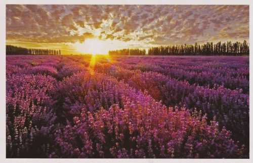 Sunset over Lavender Field (F02)